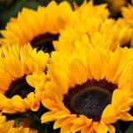 sunflower-378270_640a